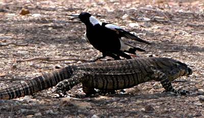 Goanna and Magpie